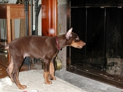 Jake a Doberman Pinscher looking at his reflection